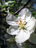 Apple tree flowers. Close up apple tree flowers Stock Photo