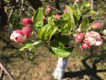 Close up photo of apple tree flowers, spring season stock photography