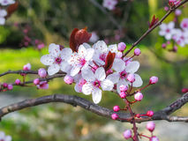 Apple tree flowers. Closeup photo of the apple tree flowers Royalty Free Stock Photos
