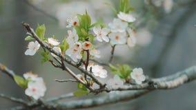 Apple tree flowers, closeup stock video footage
