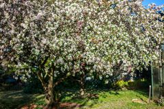 Apple tree with white flowers. Apple tree with flowers in the garden stock photos