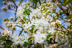 Apple-tree. Flowers in the garden at spring Royalty Free Stock Photo