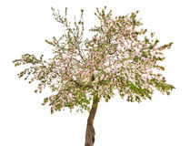 Isolated apple tree with white flowers Stock Photos