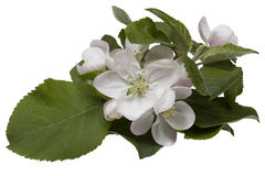 Apple flowers. Apple-tree flowers isolated on a white background Stock Photos