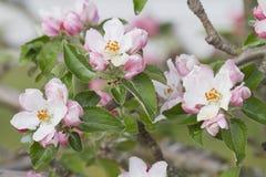 Apple tree flowers. Landscape of apple tree flowers Stock Images
