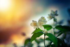 Apple-tree flowers in the light of the sunset. Lush spring bloom in the garden. Apple-tree flowers in the light of the sunset royalty free stock photography
