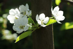Apple tree. Flowers of an apple tree in May on the street Stock Photography
