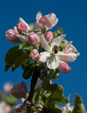 Apple tree flowers Stock Photo