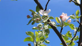 Apple tree flowers. Over a blue sky and a light wind stock video footage