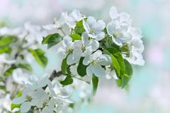 Apple-tree flowers on pastel background of spring garden Stock Images