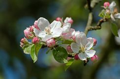 Apple tree flowers Royalty Free Stock Photos