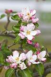 Apple tree flowers. Portrait of apple tree flowers Royalty Free Stock Photography