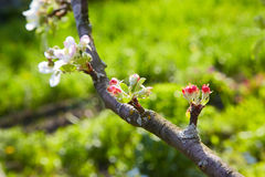 Apple tree flowers. Shallow depth of field Royalty Free Stock Photos