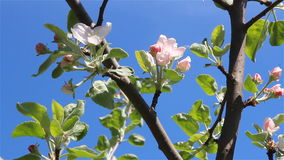 Apple tree flowers slide. Slider shot of an apple tree branches over a blue sky with flowers and a light wind stock video footage