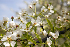 Apple-tree flowers Royalty Free Stock Image
