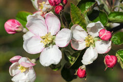Apple tree flowers. In spring Royalty Free Stock Image