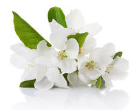 Apple tree flowers Stock Image