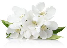 Apple tree flowers Royalty Free Stock Image