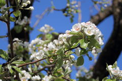 Apple tree flowers in spring. A close view of some white apple tree flowers heralding the spring Royalty Free Stock Image