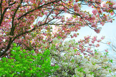 Apple tree flowers in spring orchard Stock Photography