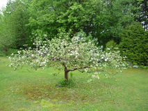 Apple tree in flowers at spring time. Stock Images