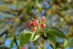 Apple tree flowers. Starting to blossom Royalty Free Stock Images