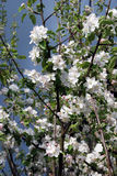 Apple tree flowers before storm Royalty Free Stock Photo