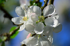 Apple tree flowers Royalty Free Stock Images