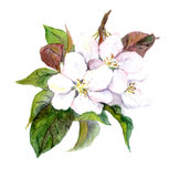 Apple tree flowers, watercolor illustration Royalty Free Stock Photography