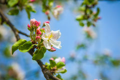 Apple tree flowerson twiig Royalty Free Stock Photo