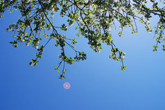 Apple Tree and Flying Saucer. Blossom Flower Apple Tree  and Flying Saucer Stock Photography