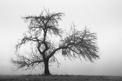 Apple Tree in the Fog Royalty Free Stock Image