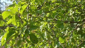 Apple tree foliage are flickering stock video