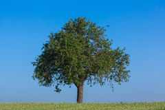Apple tree. Fresh apple tree in a wheat field royalty free stock image