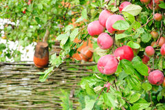 Apple-tree with fruit. Country orchard with fructifying apple-tree Stock Images