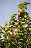 Apple tree in fruit Royalty Free Stock Image