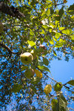 Apple. In a tree in a fruit orchard Stock Images