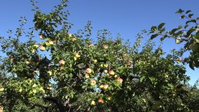 Apple tree with fruit in orchard at harvest time. 4K stock video