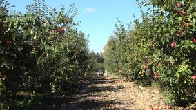 Apple tree with fruit in row in plantation at harvest time. 4K stock video footage