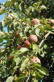 Apple tree fruits Stock Photos