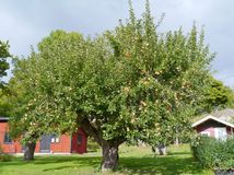 An apple tree Royalty Free Stock Image