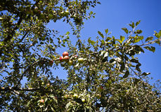 Apple tree with fruits in orchard Royalty Free Stock Image