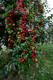 Apple tree and fruits. An apple tree with red , sweet and pomaceous fruits hanging on royalty free stock photography