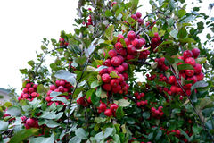 Apple tree and fruits. An apple tree with red , sweet and pomaceous fruits hanging on stock images