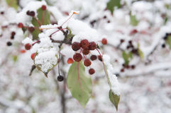 Apple tree with fruits in snow Royalty Free Stock Photography