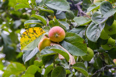 Apple tree full of apples in apple-tree garden Stock Photo