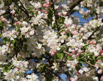Apple tree in full bloom stock photo