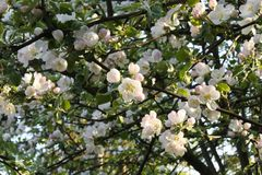 Apple tree in full blossom in May Stock Photos