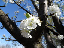 Apple tree fully blossomed. In the garden Stock Photography