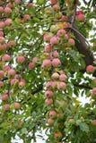 Apple-tree garden Royalty Free Stock Photo